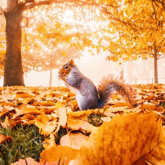 Совсем не рыжая белка среди осенней листвы утреннего лондонского парка.