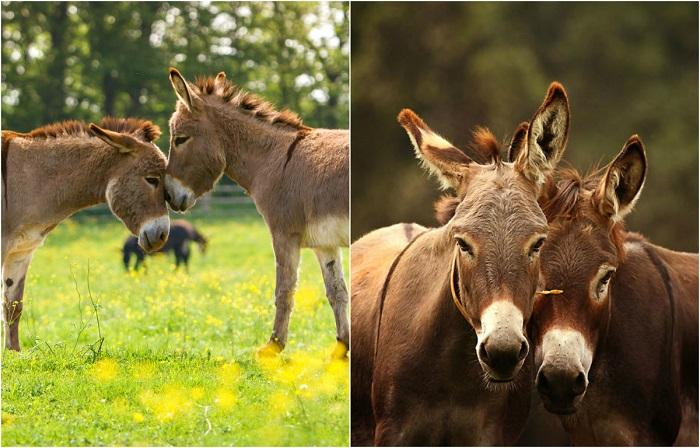 Трогательные снимки симпатичных осликов.