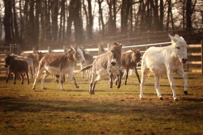 В приюте обитают около 135 ослов и мулов, большинство из которых были спасены от жестокого обращения людей.
