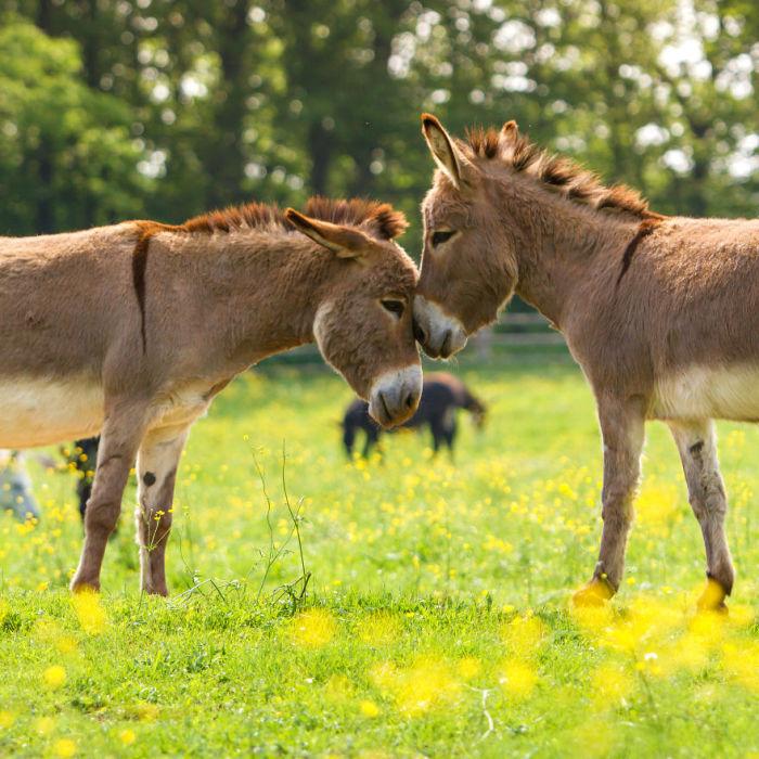 Пара осликов может просуществовать всю жизнь, так как имеет сильную привязанность друг к другу.
