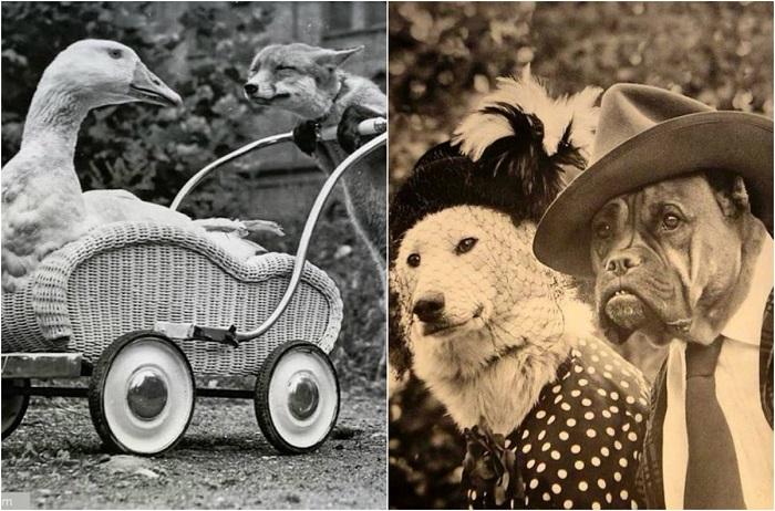 Потешные ретро-фотографии животных.
