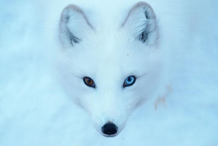 Белые лисы – популярные персонажи фольклора разных народов.