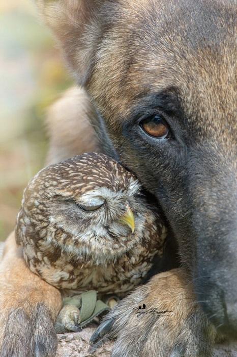 Миниатюрная сова Польди пригрелась в теплых лапах овчарки Инго.