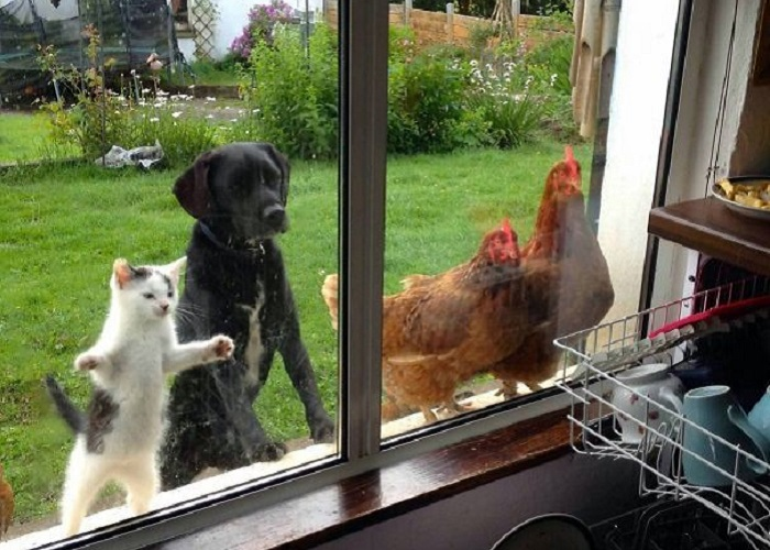 Домашние любимцы, которые хотят под любым предлогом попасть в дом.