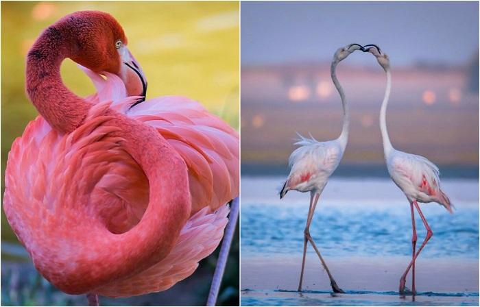 Красочные фотографии прекрасных и грациозных фламинго.