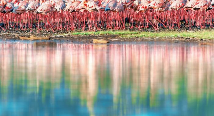 Птицы живут большими скоплениями по несколько тысяч особей