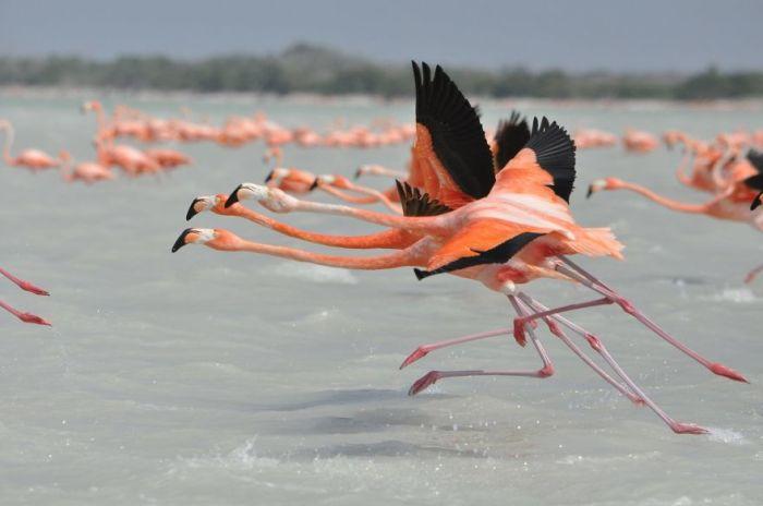 Дитя заката: 20 красочных фотографий грациозных и очень-очень розовых птиц