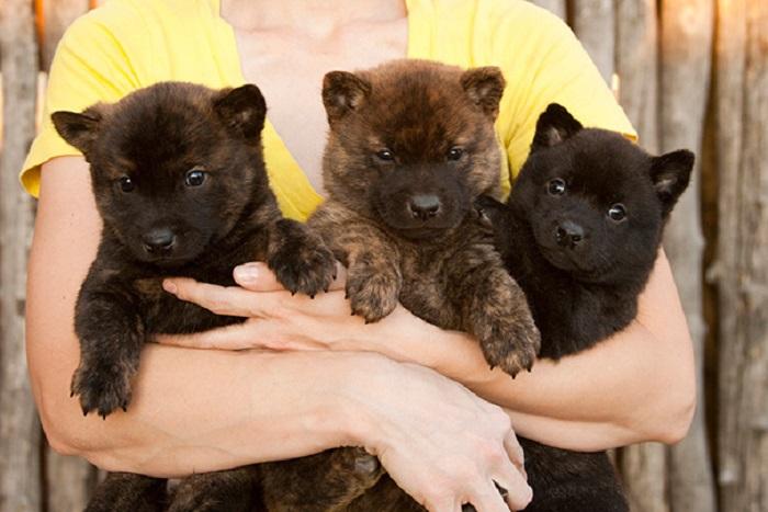 Японская порода собак, которая никогда не линяет.