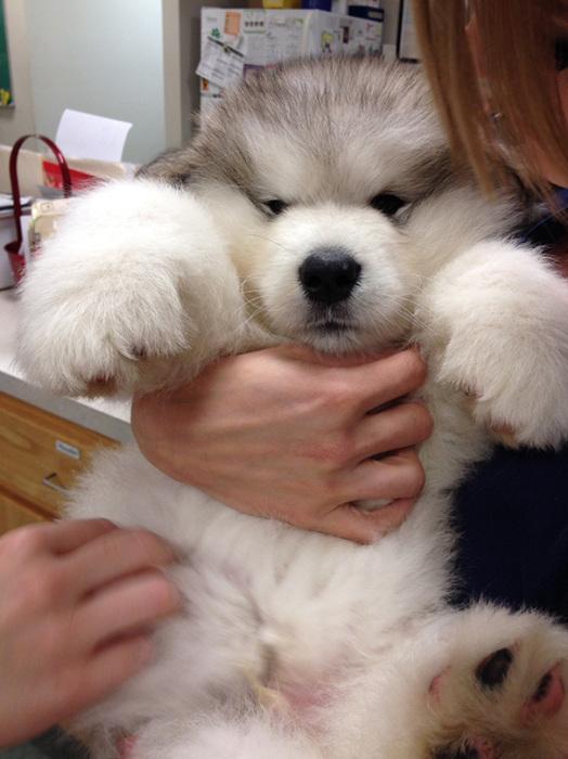 Невероятно красивая гигантская собака.