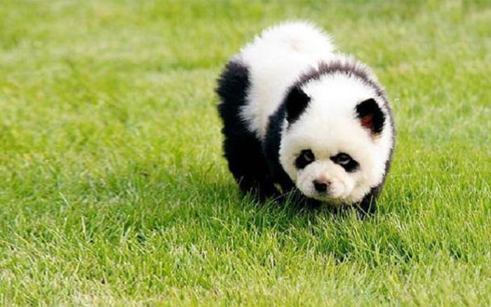 Щенок чау-чау, который выглядит как панда.