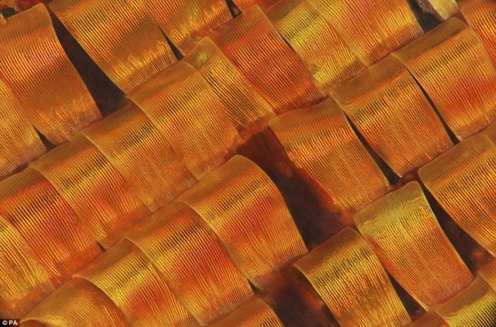 Фрагмент крыльев урании мадагаскарской. Автор фотографии: Mark R Smith.
