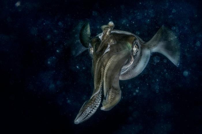 Лучшим в номинации «Под водой» стал итальянский фотограф Клаудио Цереси (Claudio Ceresi), запечатлевший охотящегося у рифа Манадо кальмара.