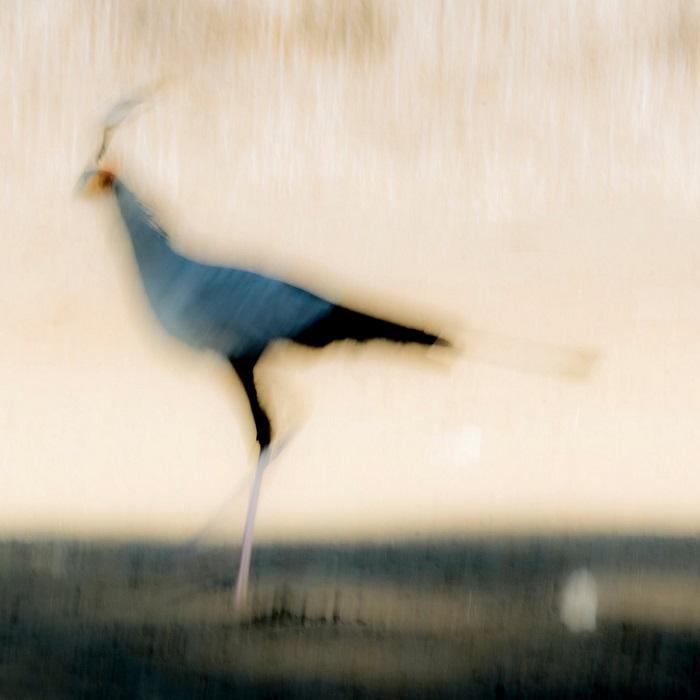 1-е место в номинации «Мастерская природы» присуждено швейцарскому фотографу Йохану Сиггессону (Johan Siggesson), запечатлевшему птицу-секретаря.
