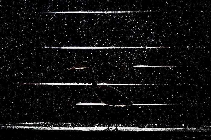 2-е место в категории «Мастерская природы» занял фотограф Ян Лесманн (Jan Lesmann) из Германии за снимок притаившейся серой цапли во время ночного дождя.