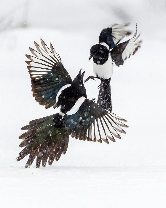 Лучшим в номинации «Юные фотографы до 14 лет» признан Лассе Куркела (Lasse Kurkela) из Финляндии, запечатлевший сражение двух черно-белых птиц.
