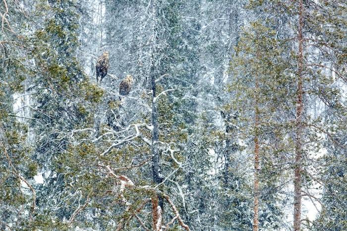 Вторым в категории «Птицы» признан испанский фотограф Андрес Мигель Домингес (Andrеs Miguel Dominguez), запечатлевший пару белохвостых орлов.