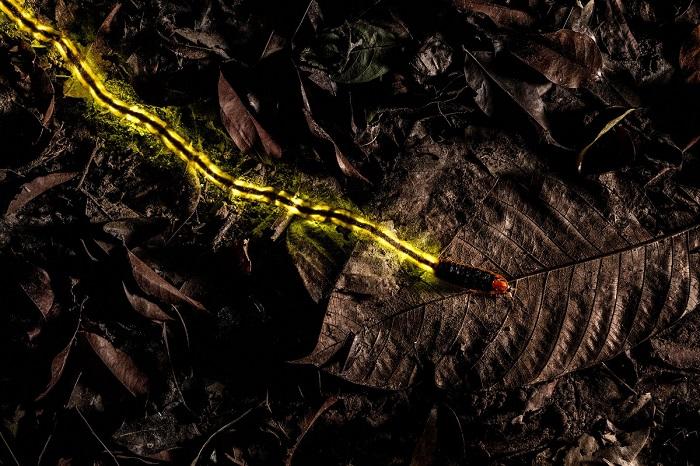 Лучшим в номинации «Другие животные» признан австрийский фотограф Кристиан Ваппл (Christian Wappl) за снимок с ползущей личинкой светлячка.