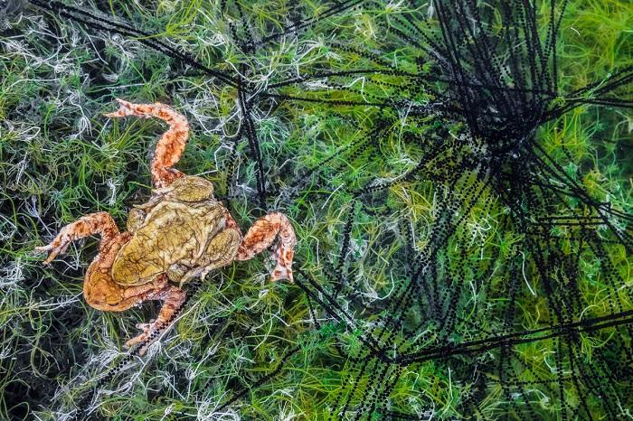 2-е место в категории «Другие животные» занял итальянский фотограф Георг Кантиолер (Georg Kantioler), запечатлевший пару серых жаб среди зеленых водорослей.