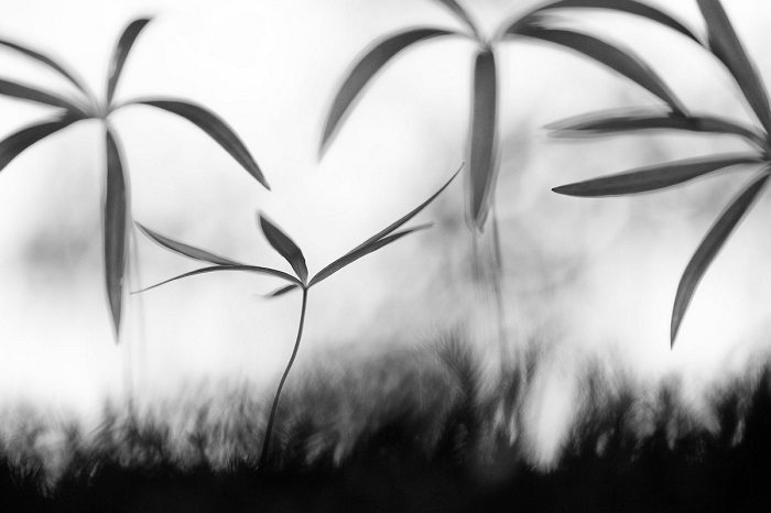Вторым в категории «Растения и грибы» признан итальянский фотограф Сэмюэль Прадетто Синьотто (Samuel Pradetto Cignotto) за снимок молодых побегов купены.