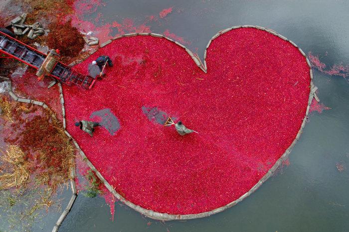 Сбор урожая клюквы в Пинском районе Беларуси. Автор фотографии: Сергей Гапон.