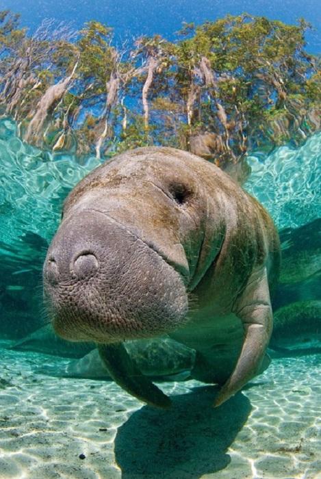 Огромная, умная и очень дружелюбная «морская корова».