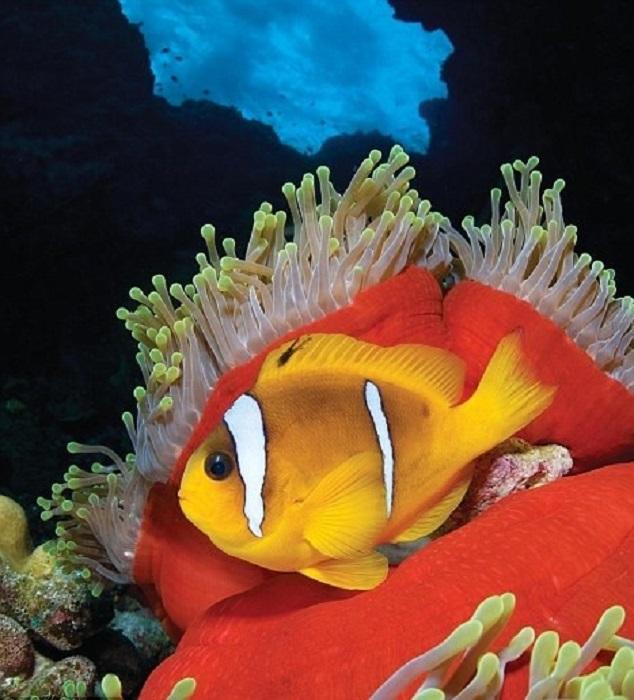 Яркая рыба клоун, спряталась в великолепной морской анемоне в тропической Западной части Тихого океана, Филиппины.