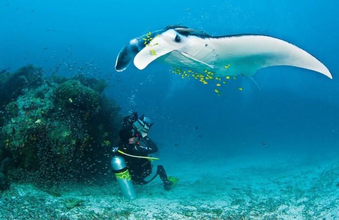 Скаты медленно кружат над коралловым рифом, позволяя рыбкам-чистильщикам собрать с тела паразитов и отмершую кожу.