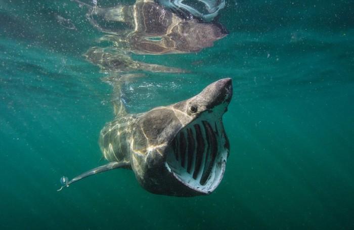 Большая белая акула с огромной пастью и ужасающим видом хищной рыбы.