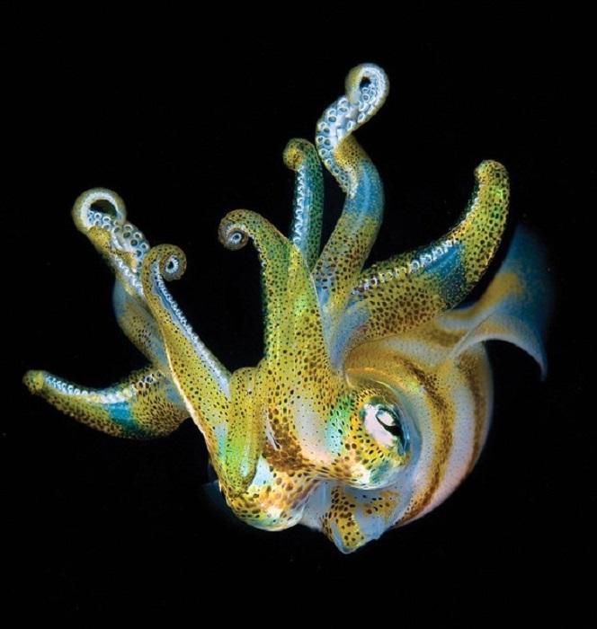 Светящийся в темноте рифовый кальмар.