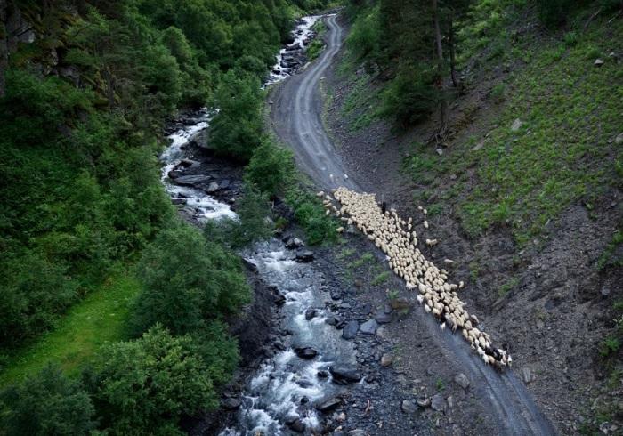 Пастух гонит отару овец по дороге, проходящей возле берега стремительной и шумной реки близ деревни Хисо.