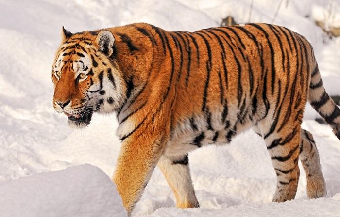 В отличие от остальных подвидов, амурский тигр является обладателем наименьшего количества полосок на шкуре. /Фото: vignette.wikia.nocookie.net