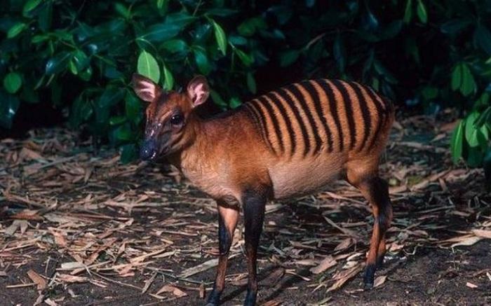 Черные полоски на рыжей шерсти придают этой маленькой пугливой антилопе сходство с зеброй… или тигром! /Фото: blogspot.com