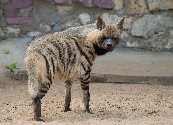 Полосатые хищники, в отличие от своих сородичей, не создают стай, а предпочитают одиночную жизнь. /Фото: wikimedia.org