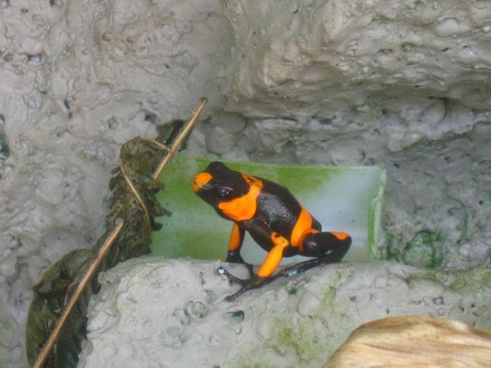 Яркий и необычный «костюмчик» этой лягушки предупреждает об опасности – все представители данного семейства ядовиты! /Фото: staticflickr.com