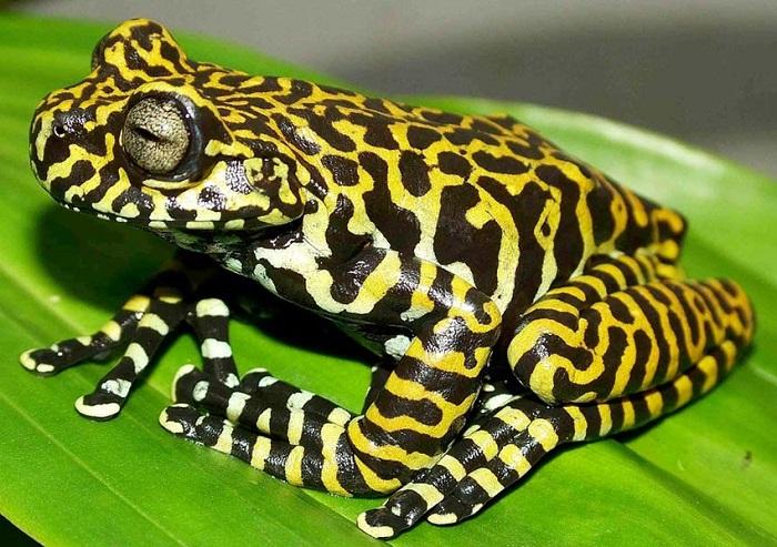 Эта лягушка с полосатым «тигриным» узором считается одной из самых красивых и редких в мире. /Фото: researchgate.net