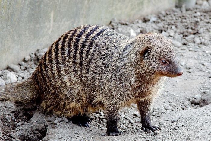Свое название эти отважные хищные животные получили благодаря темным поперечным полоскам на спине. /Фото: staticflickr.com