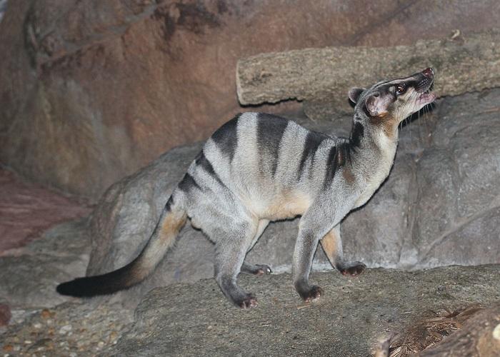 Темные продольные полосы на серой шерстке этих ночных животных делают их совершенно незаметными в темноте. /Фото: wikimedia.org