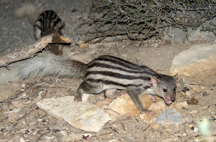 Маленький ночной полосатый хищник, проживающий на Мадагаскаре, очень скрытен, поэтому до сих пор малоизучен. /Фото: lifecatalog.ru