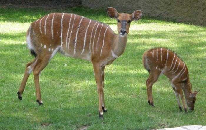 Все антилопы данного вида могу похвастать наличием белых вертикальных полосок на боках. /Фото: zoogalaktika.ru