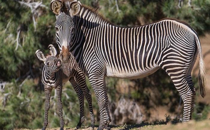 Рисунок из черных и белых полосок у каждой зебры уникален и помогает животным маскироваться от слепней. /Фото: livt.net