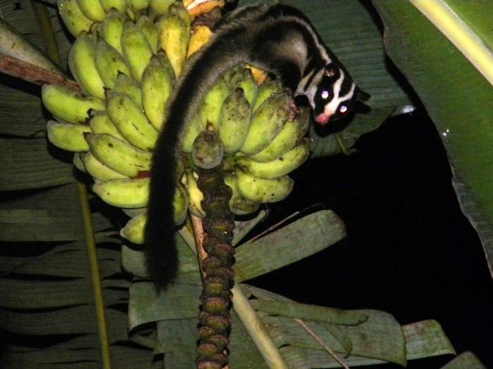 Три черные продольные полоски, проходящие через все тело сумчатого животного, с легкостью позволяют причислить их к милым «полосатикам». /Фото: wikimedia.org