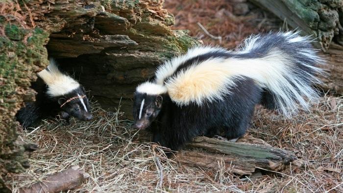 Модная черно-белая полосатая окраска этих симпатяг служит предостережением, ведь всем известно, что скунсы – самые дурно пахнущие животные в мире. /Фото: i.ytimg.com