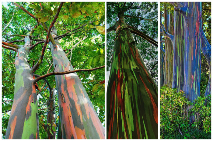 Гладкая кора эвкалипта состоит из множества тончайших слоев, которые имеют разные цвета и меняются на протяжении всей жизни удивительного дерева.