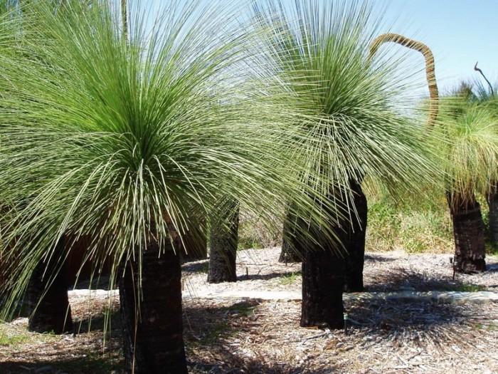 Эти медленнорастущие деревья устойчивы к огню и живут до 600 лет.