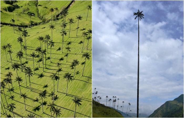 Самая высокая пальма в мире является национальным деревом Колумбии.