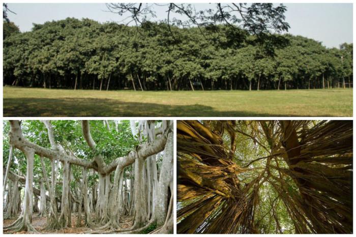 Великий баньян - дерево с самой большой в мире площадью кроны находится в Индийском ботаническом саду в Хауре.