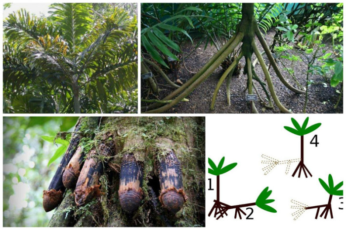 Эти необычные пальмы медленно передвигаются по земле, преодолевая до 20 метров в год.
