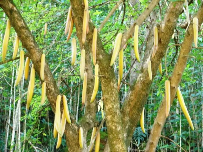 В плодах этого дерева имеется огромное количество растительных масел, благодаря чему их используют в качестве свечей.