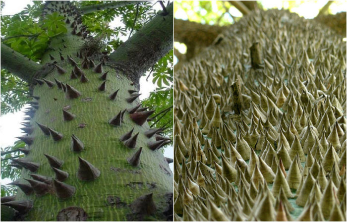 Ствол и ветви дерева покрыты очень большими колючими шипами.