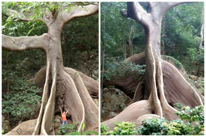 Является одним из самых больших и самых высоких деревьев в тропиках Западного полушария.